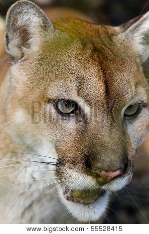 Cougar Close Up