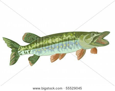 Pike (esox)
