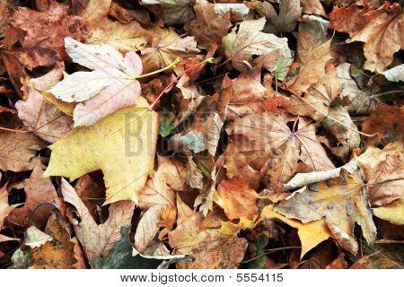 Autumn Leaves. Fall