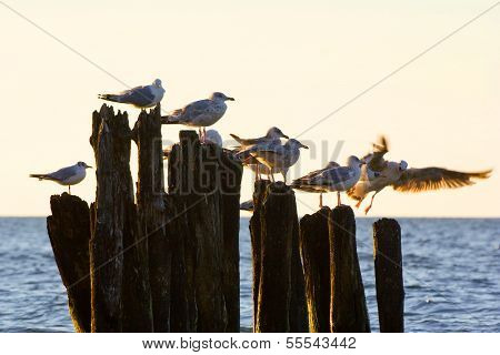 Gulls On Groynes In The Surf On The Polish Baltic Coast