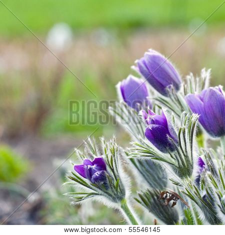 Pasque Flower In A Sunny Day In Early Spring