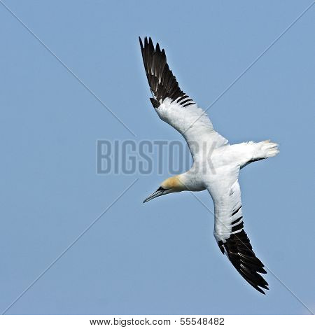 An immature Northern Gannet (Morus bassanus) in flight against a clear blue sky.