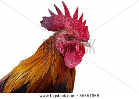 Head Roosters