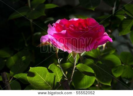 Chinese rose