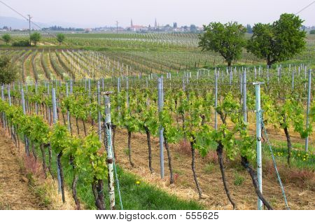 Wineyards In Spring
