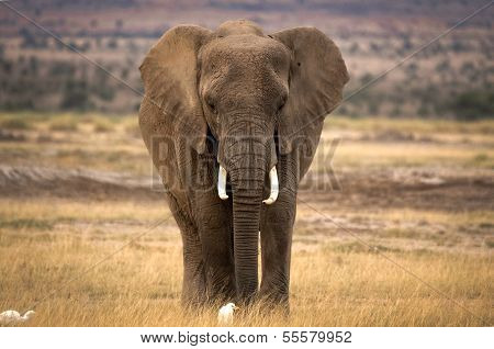 Lone african elephant with cattle egret