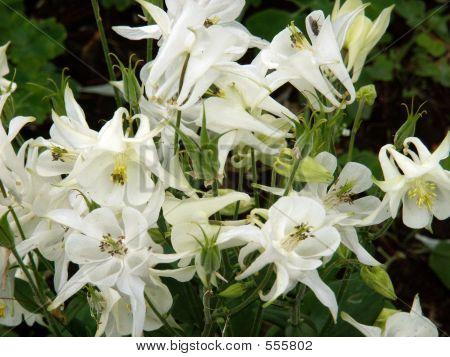 White Columbine Flowers