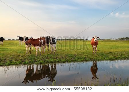 Few Cows By River In Sunset Sunlight