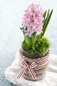 picture of scandinavian  - Pink hyacinth flower planted in a glass vase on blue wooden background traditional Scandinavian Christmas flower - JPG