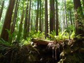 image of redwood forest  - Stand of redwoods & ferns in Humboldt Redwoods State Park in California.
