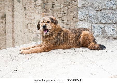 Himalayan Herding Dog Relaxing At Leh City Street
