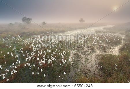 Misty Sunrise Over Swamp With Cotton Grass