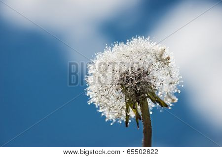 head of blowball blossom with water drops and soft sky