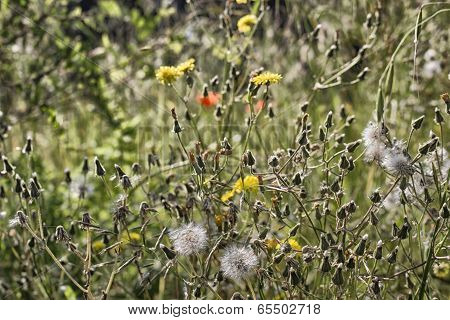 Dandelion Flowers On Green Weeds