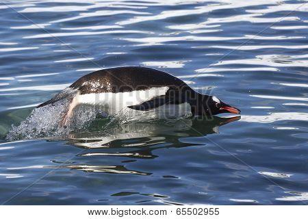 Gentoo Penguin Jump Over The Ocean Waves 1