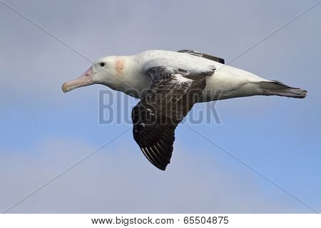Wandering Albatross Flying Against The Blue Sky 1