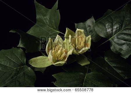 Tulip Tree Poppers