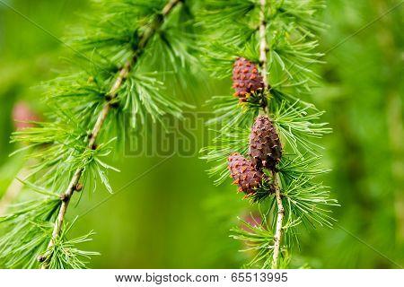 Larix Decidua, European Larch