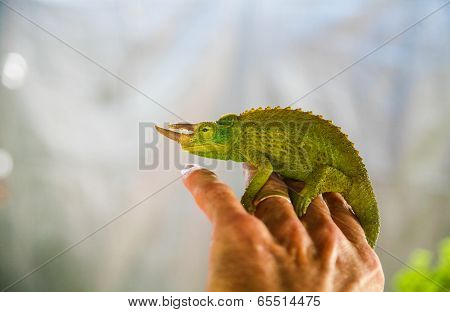 Chameleon Perched on Hand