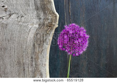 Allium Ornamental Onion Violet Showy Flower Head Old Elm Wood
