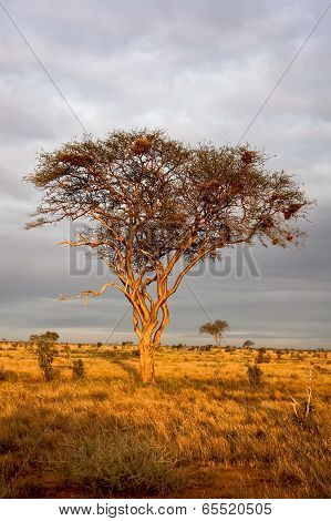 Lone acacia on Kenyan plains