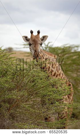 Giraffe leaning over acacia tree