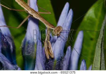 Praying Mantis - juvenile