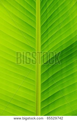 Closeup Of Banana Leaf Texture, Green And Fresh, In A Park.