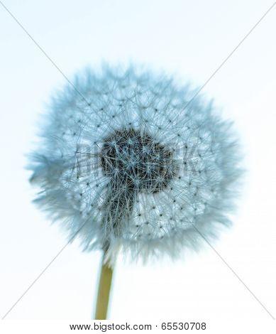 Big Dandelion Head