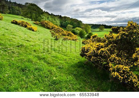 Field Of Gorse
