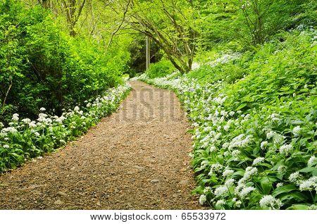 Path Through Wild Garlic