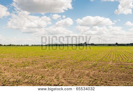 Landscape With Newly Sown Sugar Beet Plants