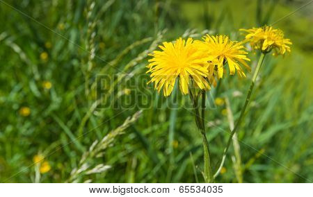 Yellow Flowering Dindle Plant In Springtime