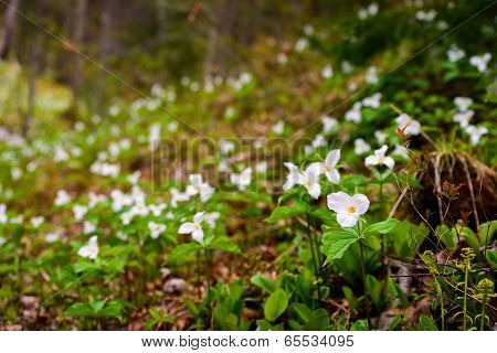 Trilliums In The Valley