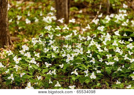 Trilliums Blooming On The Forest Floor