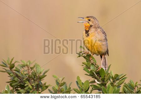 Orange Throated Cape Longclaw Perched On A Green Bush Calling And Sing