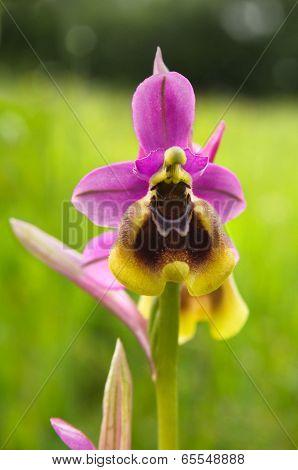 Wild Sawfly Orchid - Ophrys Tenthredinifera