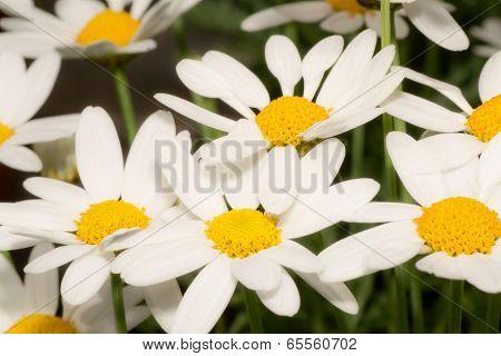 Marguerite flowers macro