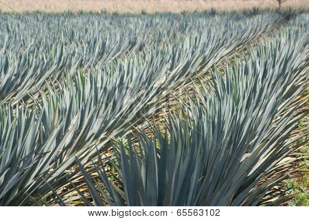 Agave Blowing In The Wind