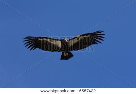 Californian Condor In Flight