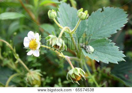blossom and unripe strawberry fruit