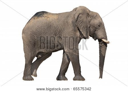 Walking elephant on white