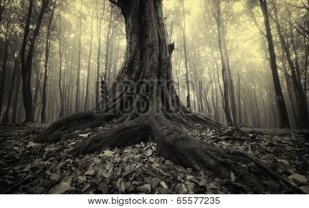 Old tree with big roots in forest with fog