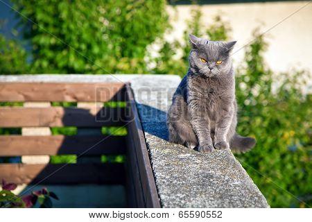 British Cat Listening To Something