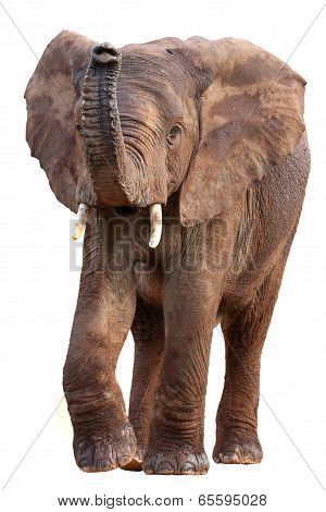 African Elephant Isolated
