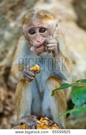 Monkey Eating Pineapple