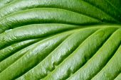 foto of monocots  - Detail of a green Hosta leaf with rain drops after the storm - JPG
