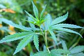 picture of psychodelic  - Green leaves of cannabis in the garden - JPG