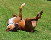 stock photo of boxers  - Male boxer  rolling around in grass - JPG