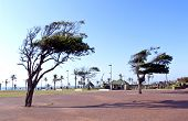 image of wind blown  - wind blown trees in walkway on Durban - JPG